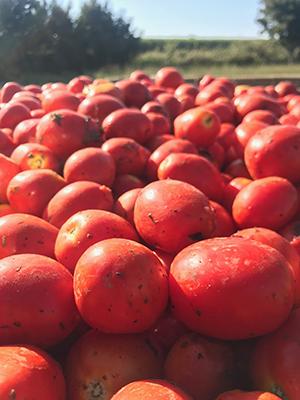 Pomodoro della Valdichiana